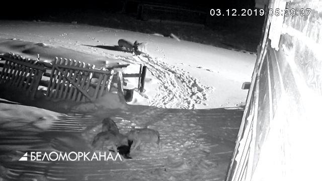 В Нёноксе волки режут собак прямо в селе