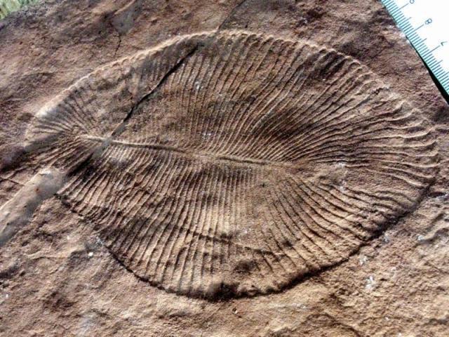 Палеонтолог изСанкт-Петербурга подозревается вхищении уникальных остатков организмов вендского периода