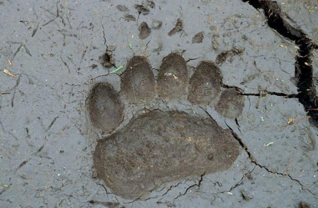 ВСеверодвинске медведь поломал несколько могил накладбище