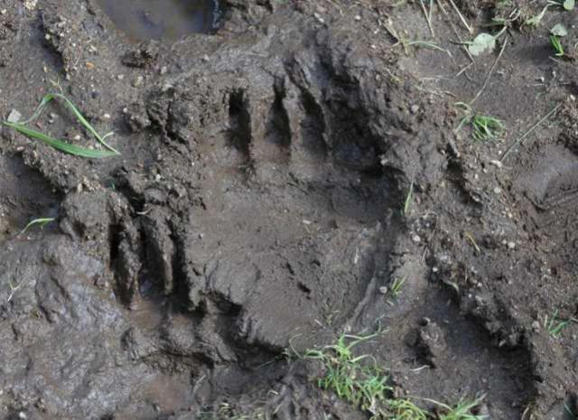 Медведи потоптали могильные захоронения нагородском кладбище вСеверодвинске